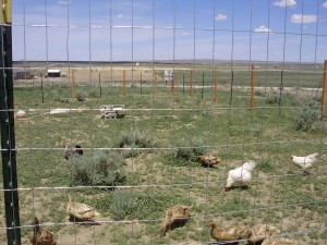 poultry yard