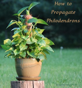how-to-propagate-philodendrons